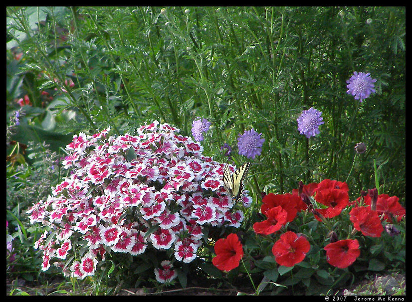 Dianthus & Butterfly