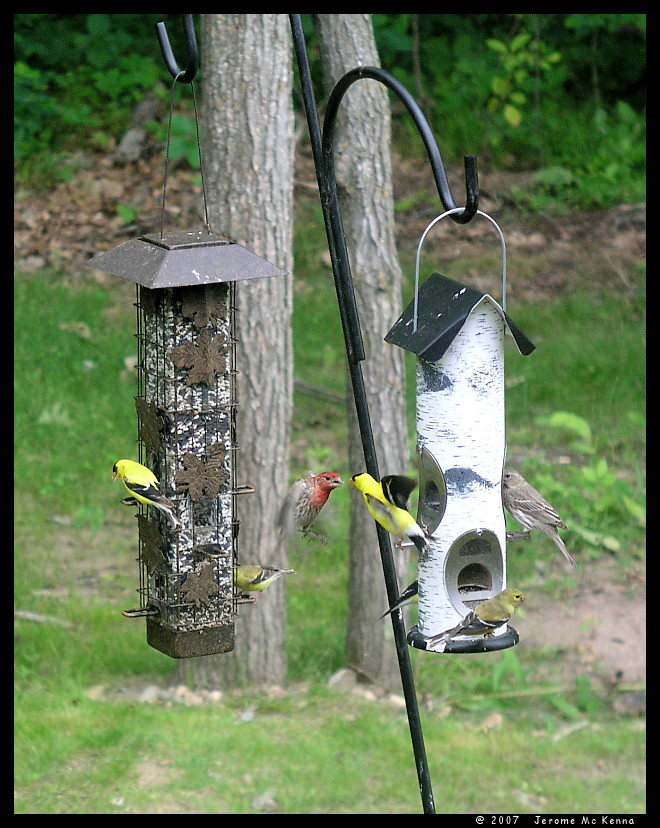 Goldfinch and House Finch at Odds