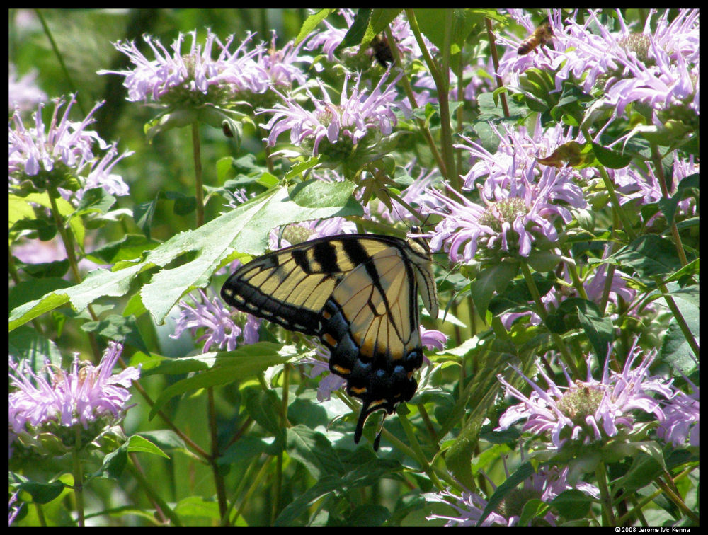 Swallowtail in Shelby Forest