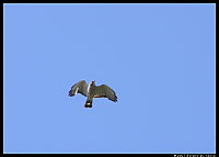Broadwinged Hawk Overhead
