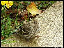 A Pine Siskin in our yard