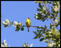 Gold Finch in a tree