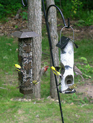 A house finch and a goldfinch fight for feeder space